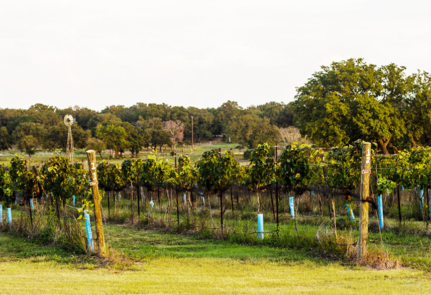 vineyard-8
